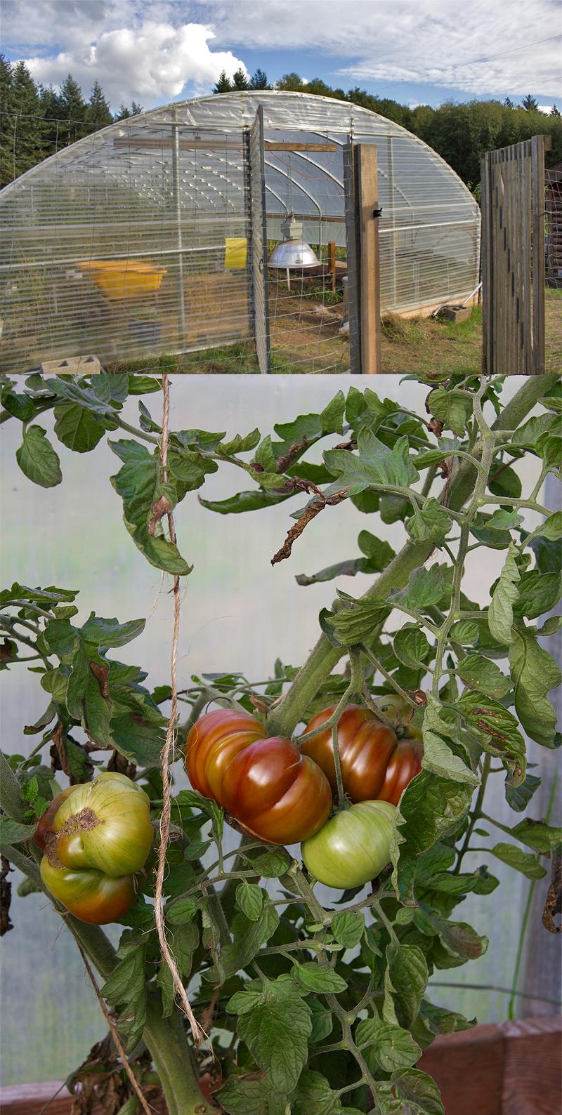 Tomato Heaven, Doe Bay Garden, Orcas Island